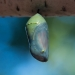 Green butterfly chrysalis with visible wings